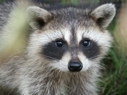 Wright Farms Metropolitan District neighborhoods are experiencing a growth in the raccoon population